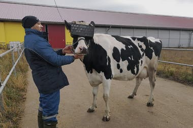 According to the Moscow Ministry of Agriculture, the first test recorded improvements in animal welfare and they plan a second stage to assess their impact on dairy production